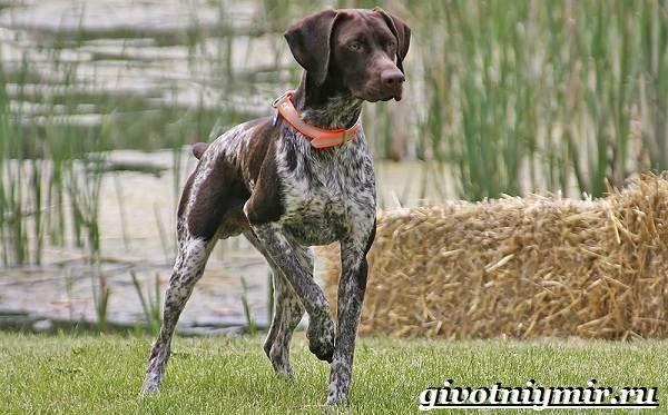Охотничьи-собаки-Описание-особенности-и-названия-охотничьих-пород-собак-10