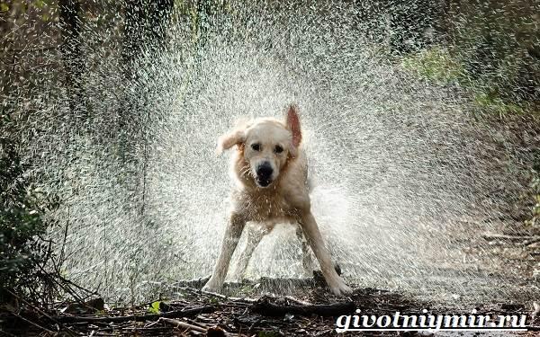 Охотничьи-собаки-Описание-особенности-и-названия-охотничьих-пород-собак-11