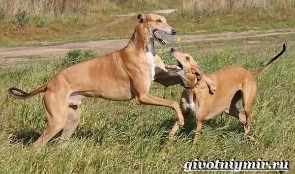 Охотничьи-собаки-Описание-особенности-и-названия-охотничьих-пород-собак-13