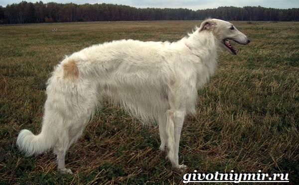 Охотничьи-собаки-Описание-особенности-и-названия-охотничьих-пород-собак-14