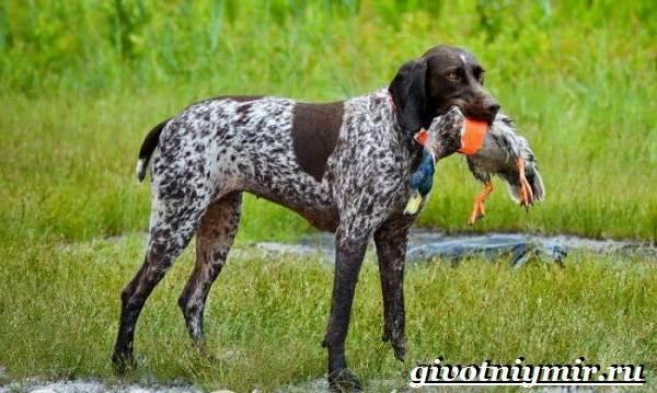 Охотничьи-собаки-Описание-особенности-и-названия-охотничьих-пород-собак-16