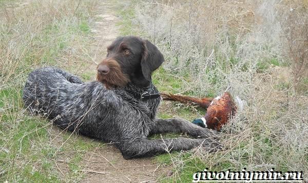 Охотничьи-собаки-Описание-особенности-и-названия-охотничьих-пород-собак-17