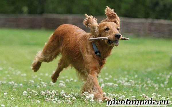 Охотничьи-собаки-Описание-особенности-и-названия-охотничьих-пород-собак-19