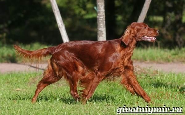 Охотничьи-собаки-Описание-особенности-и-названия-охотничьих-пород-собак-20