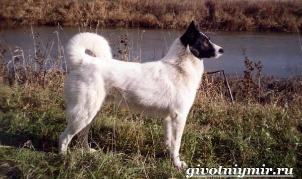 Охотничьи-собаки-Описание-особенности-и-названия-охотничьих-пород-собак-22