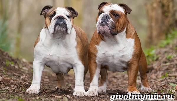 Охотничьи-собаки-Описание-особенности-и-названия-охотничьих-пород-собак-4