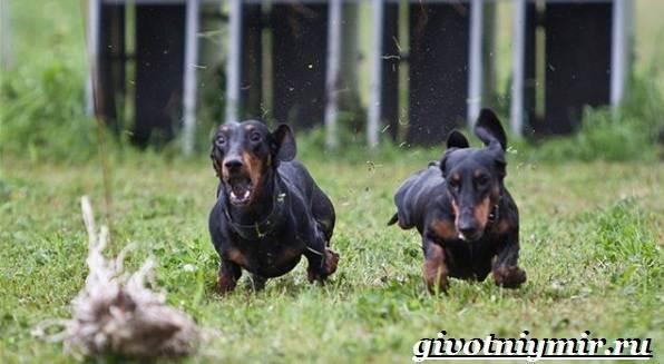 Охотничьи-собаки-Описание-особенности-и-названия-охотничьих-пород-собак-5