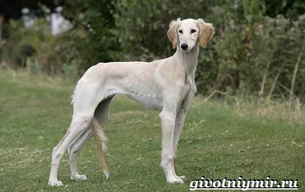 Охотничьи-собаки-Описание-особенности-и-названия-охотничьих-пород-собак-6