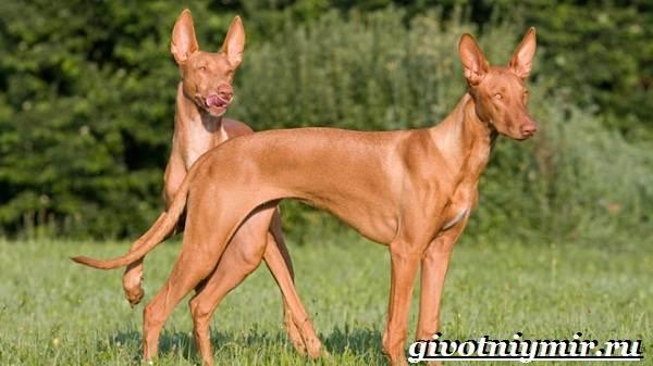 Охотничьи-собаки-Описание-особенности-и-названия-охотничьих-пород-собак-7