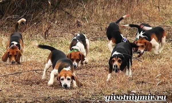 Охотничьи-собаки-Описание-особенности-и-названия-охотничьих-пород-собак-9