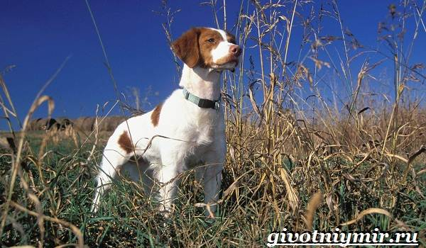 Охотничьи-собаки-Описание-особенности-и-названия-охотничьих-пород-собак