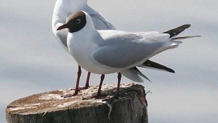 Озерная чайка птица. Образ жизни и среда обитания озерной чайки