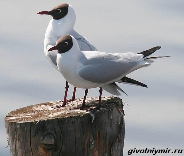 чайка озерная фото
