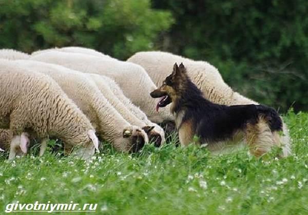 Пастушьи-собаки-Описание-и-особенности-пастушьих-пород-собак-1