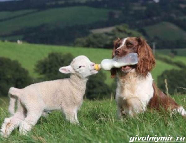 Пастушьи-собаки-Описание-и-особенности-пастушьих-пород-собак-2