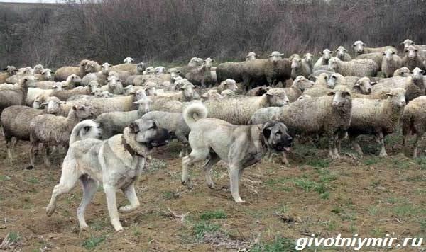 Пастушьи-собаки-Описание-и-особенности-пастушьих-пород-собак-3