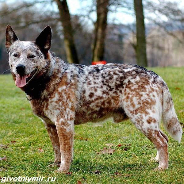 Пастушьи-собаки-Описание-и-особенности-пастушьих-пород-собак-4