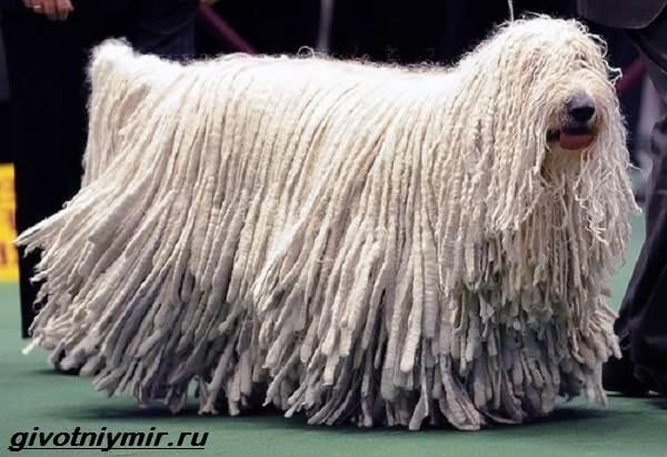 Пастушьи-собаки-Описание-и-особенности-пастушьих-пород-собак-5