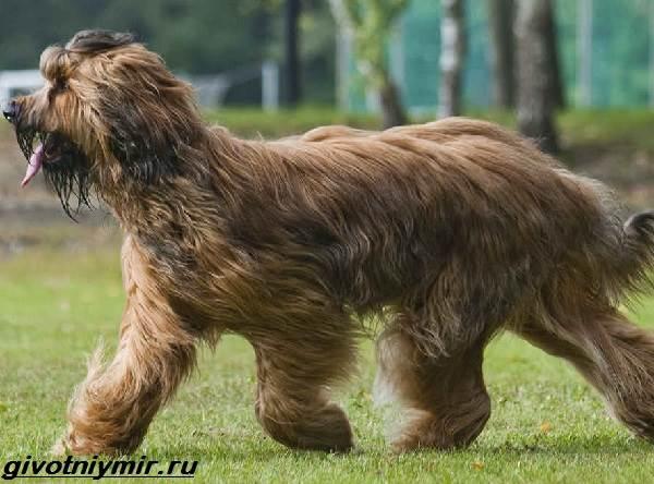 Пастушьи-собаки-Описание-и-особенности-пастушьих-пород-собак-7
