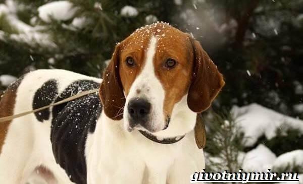 Пегая-гончая-собака-Описание-особенности-уход-и-цена-пегой-гончей-1