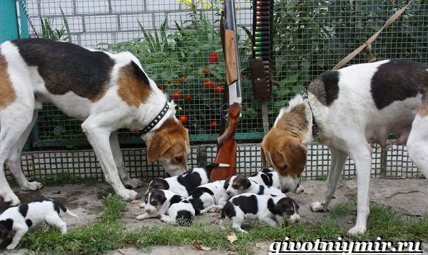 Пегая-гончая-собака-Описание-особенности-уход-и-цена-пегой-гончей-3