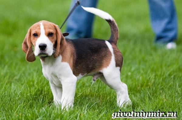Пегая-гончая-собака-Описание-особенности-уход-и-цена-пегой-гончей-5