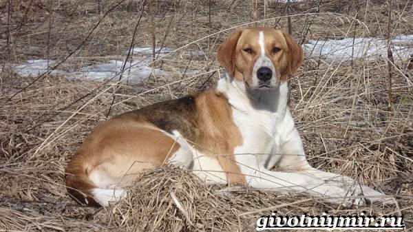 Пегая-гончая-собака-Описание-особенности-уход-и-цена-пегой-гончей-6
