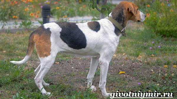 Пегая-гончая-собака-Описание-особенности-уход-и-цена-пегой-гончей-7