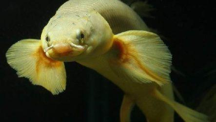 Полиптерус рыбка. Описание особенности, виды и уход за рыбой полиптерус