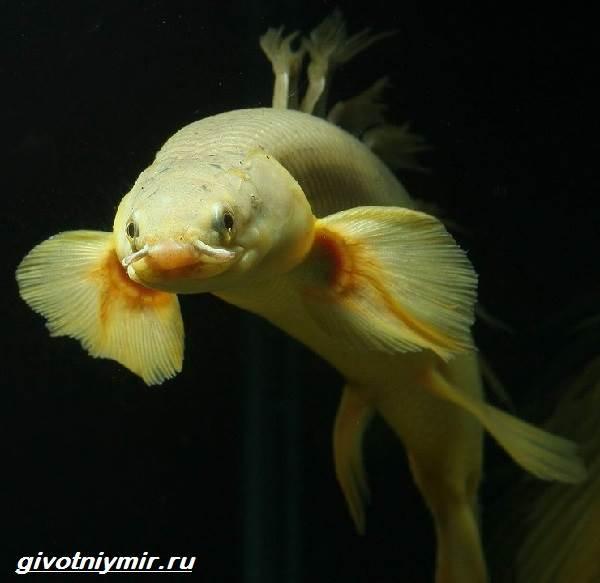 Полиптерус-рыбка-Описание-особенности-виды-и-уход-за-рыбой-полиптерус-1