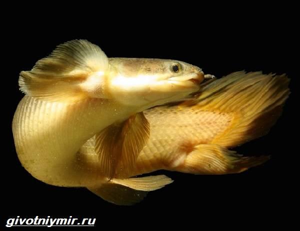 Полиптерус-рыбка-Описание-особенности-виды-и-уход-за-рыбой-полиптерус-2