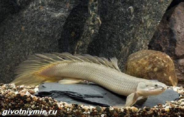 Полиптерус-рыбка-Описание-особенности-виды-и-уход-за-рыбой-полиптерус-5