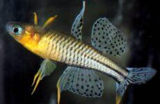 Попондетта фурката рыбка. Описание, виды, уход и совместимость попондетты фуркаты