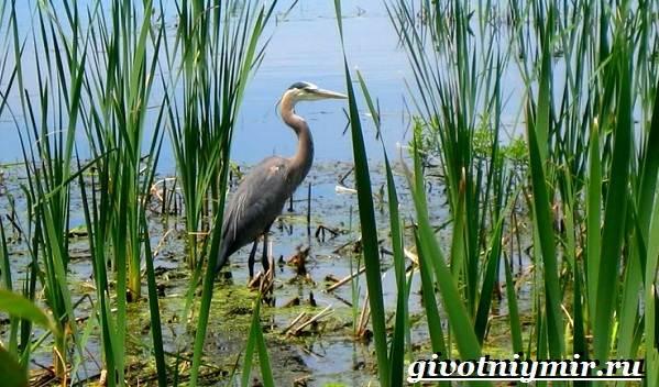 Птицы-болот-Описание-названия-и-особенности-птиц-болот-1