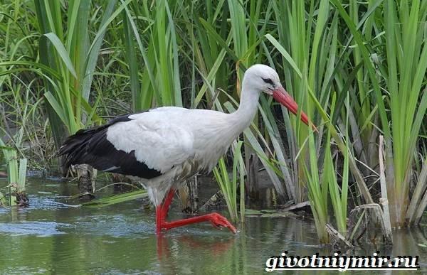 Птицы-болот-Описание-названия-и-особенности-птиц-болот-10