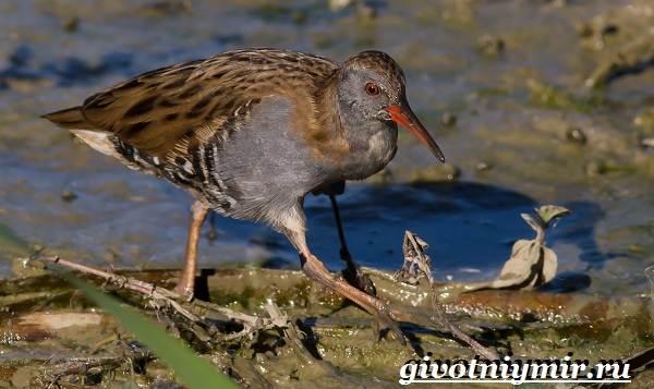 Птицы-болот-Описание-названия-и-особенности-птиц-болот-18
