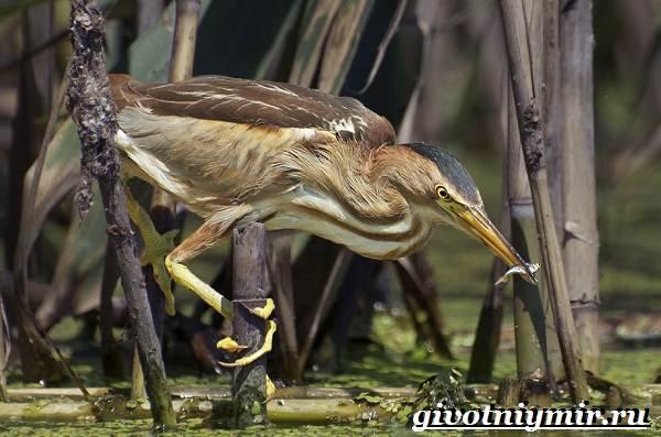 Птицы-болот-Описание-названия-и-особенности-птиц-болот-2