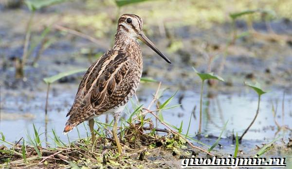 Птицы-болот-Описание-названия-и-особенности-птиц-болот-3