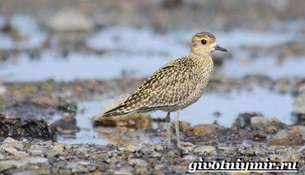 Птицы-болот-Описание-названия-и-особенности-птиц-болот-4