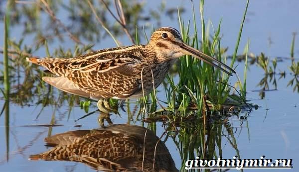 Птицы-болот-Описание-названия-и-особенности-птиц-болот-5