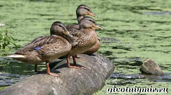 Птицы-болот-Описание-названия-и-особенности-птиц-болот-6