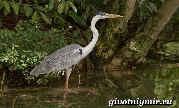 Птицы-болот-Описание-названия-и-особенности-птиц-болот-9