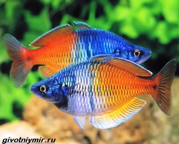 Радужница-рыбка-Описание-уход-виды-и-совместимость-радужницы-1