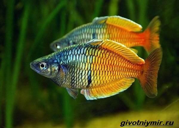 Радужница-рыбка-Описание-уход-виды-и-совместимость-радужницы-2