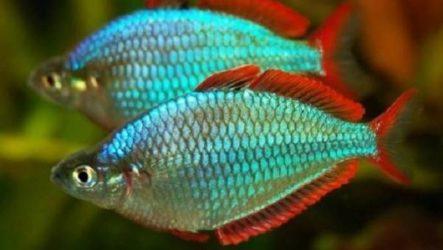 Радужница рыбка. Описание, уход, виды и совместимость радужницы
