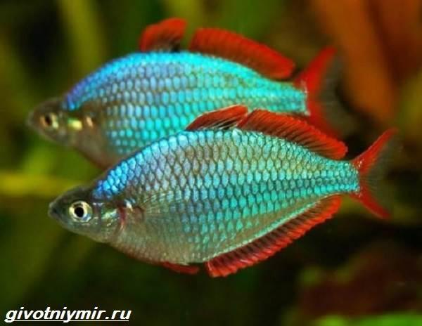 Радужница-рыбка-Описание-уход-виды-и-совместимость-радужницы-4