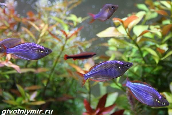 Радужница-рыбка-Описание-уход-виды-и-совместимость-радужницы-5