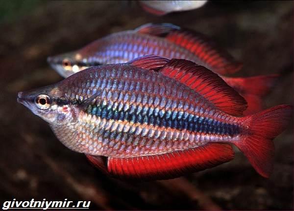 Радужница-рыбка-Описание-уход-виды-и-совместимость-радужницы-6