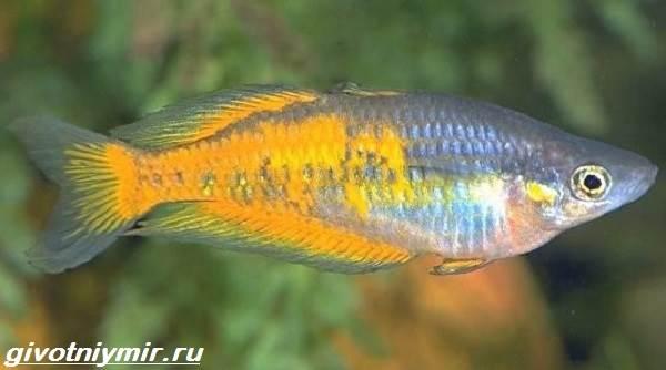 Радужница-рыбка-Описание-уход-виды-и-совместимость-радужницы-7