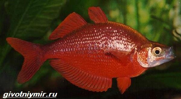 Радужница-рыбка-Описание-уход-виды-и-совместимость-радужницы-8